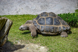 Star tortoises in motion and outdoors