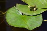 Hyla meridionalis ou rainette méridionale sur un nénuphar.