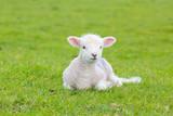 Small cute lamb gambolling in a meadow in England farm - 147595256