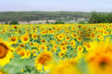 Field of fresh growing sunflowers at bright summer day