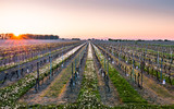 German Spring Vineyards at Sunrise