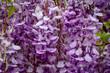 Quadro wisteria