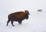 The Tawny Bison