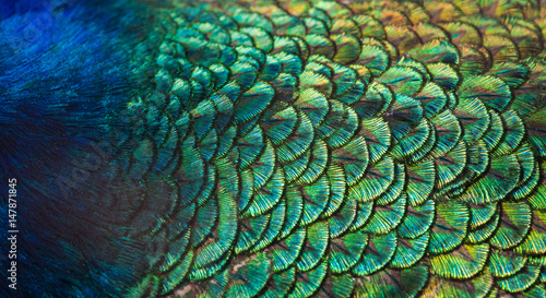 Fotobehang Pauw Patterns and colors of peacock feathers.