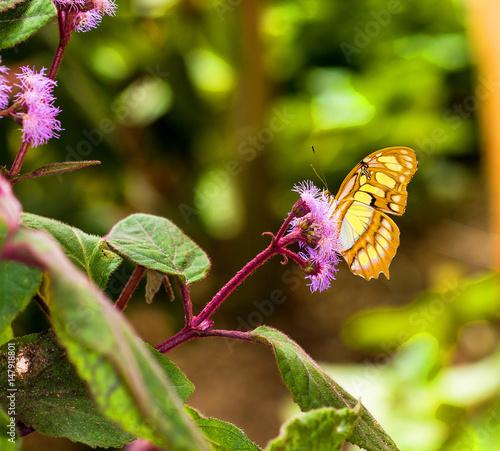 Deurstickers Vlinder Papillon tropical Siproeta Steneles sur une fleur
