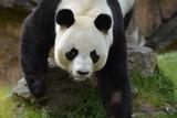 grosse  tête de panda