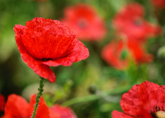 Red poppies. Close up, soft focus
