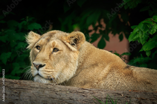 Poster Female lion