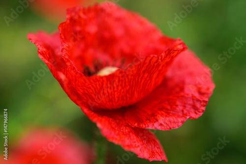 Red poppy. Close up, soft focus.