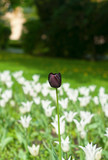 A black tulip among white tulips