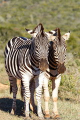 A Pair of Zebras standing together