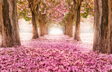 Falling petal over the romantic tunnel of pink flower trees / Romantic Blossom tree over nature background in Spring season / flowers Background - 148139077