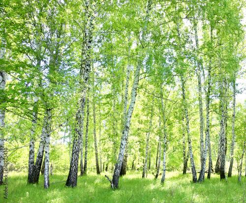 birch forest - 148275430