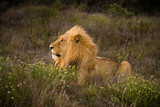 junger männlicher Löwe