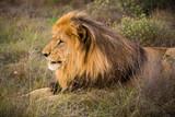 ruhender männlicher Löwe