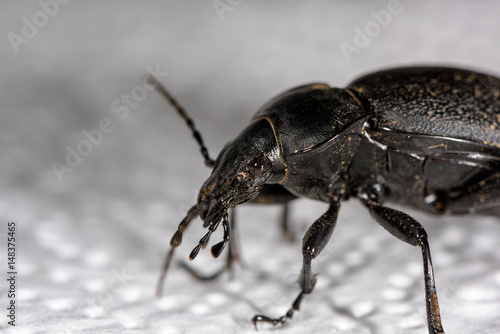 Macro of a female stag beetle, Lucanus cervus, side view Poster