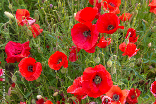 Tuinposter Rood Coquelicots