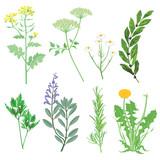 Kräuter und Heilpflanzen. Botanische Illustration