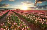beautiful sunset over field with pink tulips