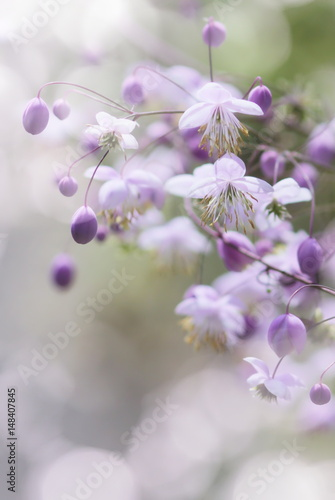 Thalictrum delavayi. China Garden in Germany. Thalictrum and white bokeh. © Anna Bolsch
