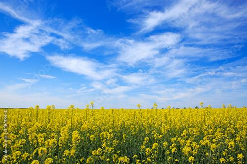 Rape field and blue sky.