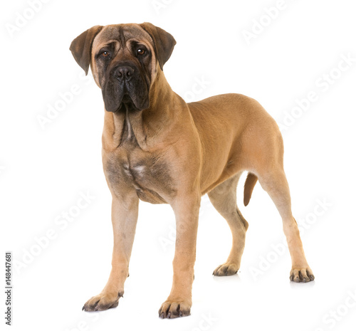 Poster puppy bull mastiff