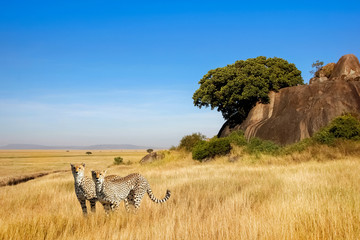 A group of cheetahs in the savanna in the national park of Africa