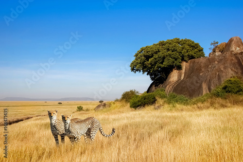 A group of cheetahs in the savanna in the national park of Africa © delbars