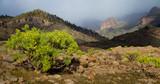Gran Canaria Landscape - Euphorbia lamarckii in Inagua Park.
