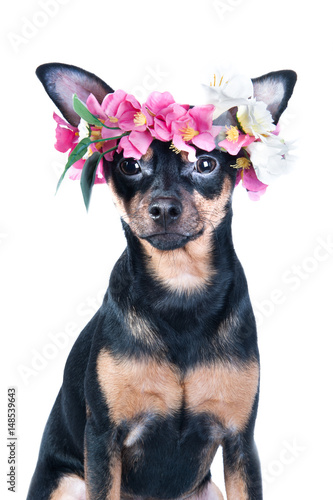 dog, Toy Terrier in a wreath of flowers . isolated плакат