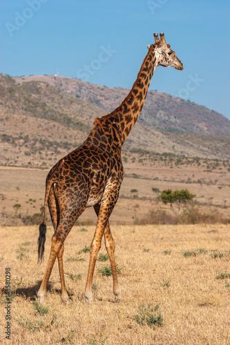 Poster Giraffe in Kenya. Africa.