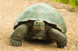 Tortoises are herbivorous animals with a diet comprising cactus, grasses, leaves, vines, and fruit, front view