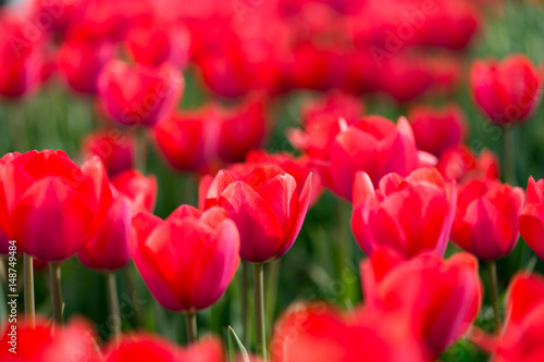 Fotobehang Rood Beautiful red tulips in nature