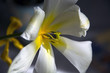 Blooming white yellow tulip flower