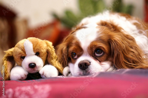 Zdjęcia na płótnie, fototapety na wymiar, obrazy na ścianę : Dog breed Cavalier king rarls spaniel with a sad look to lie and waiting for the owner with his friend's favorite soft toy. Two dogs are a twins - toy and a real dog.