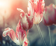 striped tulips at spring sunset background light