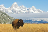 Bison in front of Grand Teton Mountain range with grass in foreground