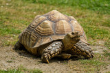 photo of an African Spur-thighed Tortoise walking in the sunshine