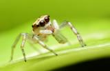 Jumping Spider,Thailand.
