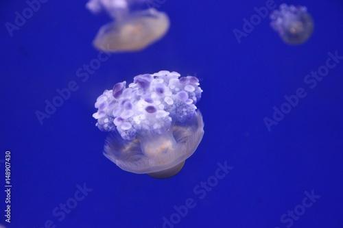 Australian jellyfish floating in Genoa aquarium, Italy - 148907430