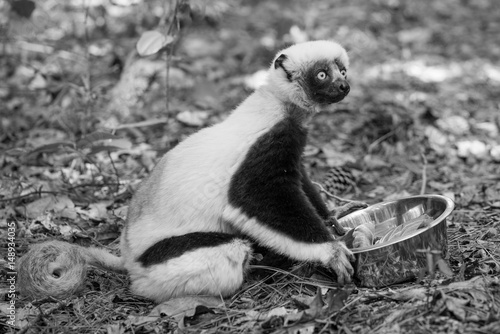 Plakát Duke Lemur Research
