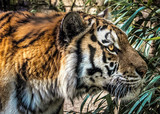 angry tiger in zoo