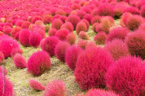 Fotobehang Candy roze Kochia flowers garden