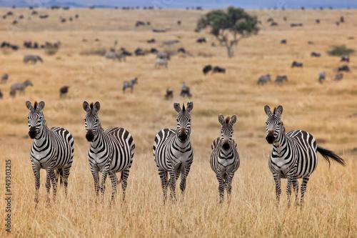 Zebras, Masai Mara, Kenya  - 149303215