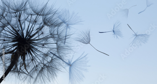 Dandelion silhouette fluffy flower on blue sunset sky