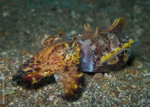 Flamboyant Cuttlefish (Metasepia pfefferi),Amazing the most beautiful cuttlefish Poster