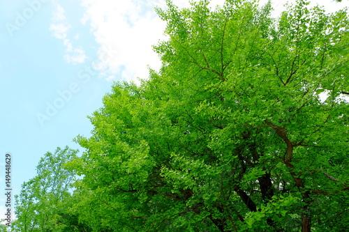 Papiers peints Vert 新緑の銀杏の木