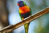 Australian Rainbow Lorikeet - Gold Coast, Queensland Australia