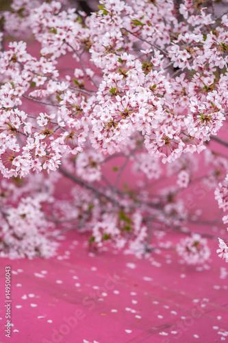 Fotobehang Roze 桜の花