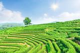 Green tea plantation landscape,china
